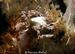 soft coral with crab by Mariano Ma&#241;as 